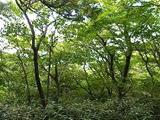 『女体山山頂付近のブナ林』の画像