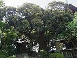 『椎尾山薬王院のスダジイ林』の画像